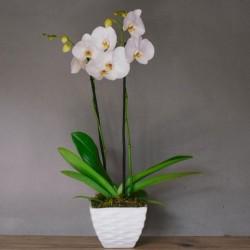 elegante orquidea